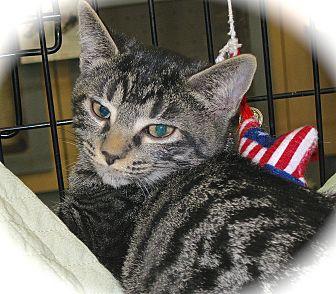 Domestic Shorthair Kitten for adoption in Fort Wayne, Indiana - Brandy