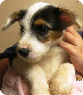 Jack Russell Terrier Puppy for adoption in Oswego, Illinois - Ellie