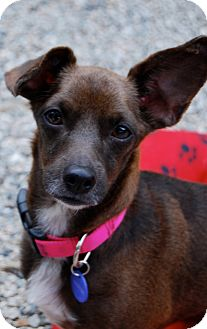 Dachshund/Chihuahua Mix Dog for adoption in Los Angeles, California - Bonnie