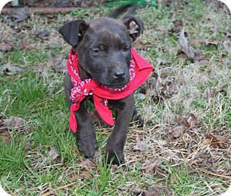 Labrador Retriever/Shepherd (Unknown Type) Mix Puppy for adoption in East Hartford, Connecticut - Ranger-pending adoption