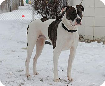 American Bulldog Mix Dog for adoption in Midland, Michigan - Jatalmine