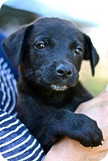 Labrador Retriever Mix Puppy for adoption in Los Angeles, California - Doe