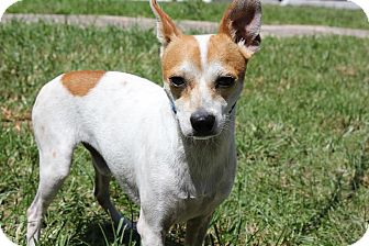 Chihuahua Mix Dog for adoption in Boca Raton, Florida - Little Man