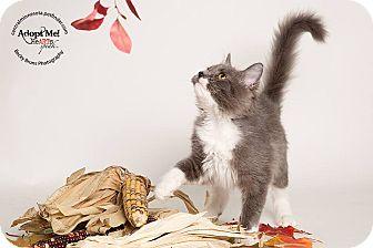 Domestic Mediumhair Kitten for adoption in Sauk Rapids, Minnesota - Raquel