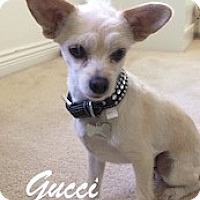 Adopt A Pet :: Gucci - Lynnwood, WA