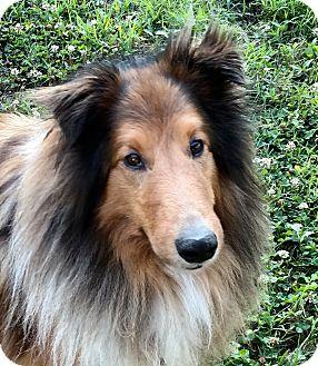Sheltie, Shetland Sheepdog/Collie Mix Dog for adoption in Washington, D.C. - Lad and Sandi