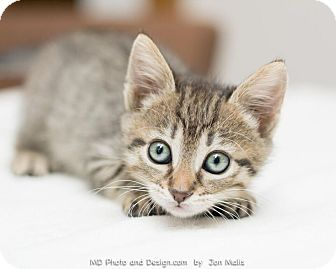 Domestic Shorthair Kitten for adoption in Fountain Hills, Arizona - Becca