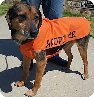 Hound (Unknown Type) Mix Dog for adoption in Tahlequah, Oklahoma - Dingo