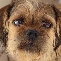 Brussels Griffon/Yorkie, Yorkshire Terrier Mix Dog for adoption in Colorado Springs, Colorado - Joan