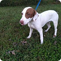 Beagle Mix Dog for adoption in Russellville, Kentucky - Gucci