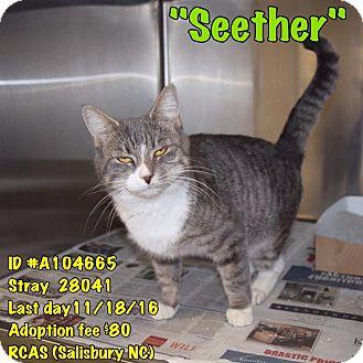 Domestic Shorthair Cat for adoption in Salisbury, North Carolina - Seether