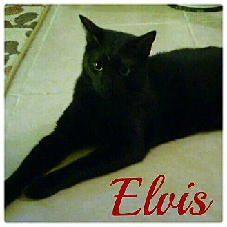Domestic Shorthair Cat for adoption in Centerton, Arkansas - Elvis