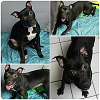 Adopt A Pet :: Sheba - Forked River, NJ