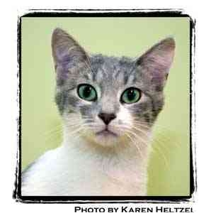 Domestic Shorthair Kitten for adoption in Warren, Pennsylvania - Whisper