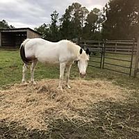Paint/Pinto for adoption in Freeport, Florida - Sassy (Horse)