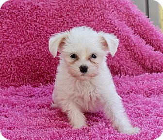Chinese Crested Puppy for adoption in Los Angeles, California - Ying