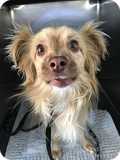 Pomeranian Mix Dog for adoption in Las Vegas, Nevada - Lando