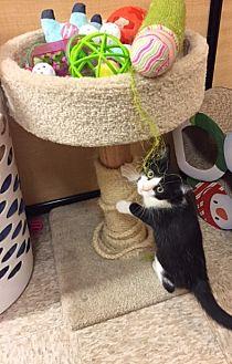 Domestic Shorthair Kitten for adoption in Warrenton, Missouri - Ashley