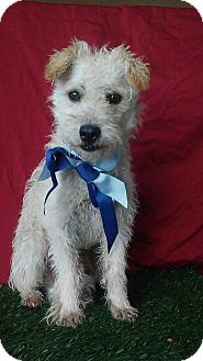 Terrier (Unknown Type, Small)/Poodle (Miniature) Mix Dog for adoption in Santa Monica, California - MOMO
