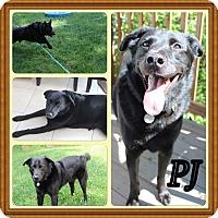 Adopt A Pet :: PJ - Chalfont, PA