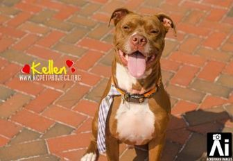 American Pit Bull Terrier Mix Dog for adoption in Kansas City, Missouri - Kellen