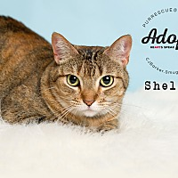 Domestic Shorthair Cat for adoption in Pearland, Texas - Shelley