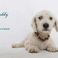 Adopt A Pet :: Buddy - Sherman Oaks, CA