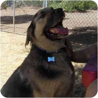 Shepherd (Unknown Type)/St. Bernard Mix Dog for adoption in San Diego, California - Max