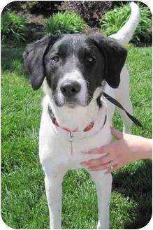 Labrador Retriever/Pointer Mix Dog for adoption in Overland Park, Kansas - Bentley