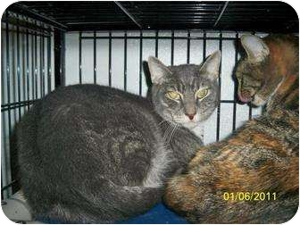 Domestic Shorthair Cat for adoption in Shelbyville, Kentucky - Cosmo
