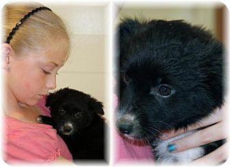 Collie/Border Terrier Mix Puppy for adoption in Comanche, Texas - Annie