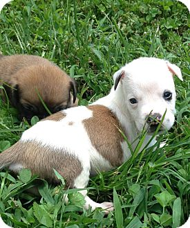 Bulldog/Pit Bull Terrier Mix Puppy for adoption in Indian Trail, North Carolina - Shiner