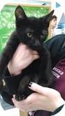 Domestic Shorthair Kitten for adoption in Warren, Michigan - Shadow