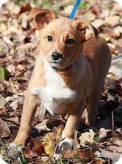 Sheltie, Shetland Sheepdog Mix Puppy for adoption in Plainfield, Connecticut - Chelsea (In R.I.)