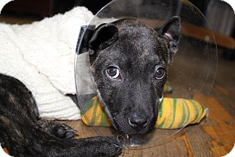 Shepherd (Unknown Type) Mix Puppy for adoption in Waldorf, Maryland - Batgirl