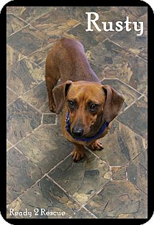 Dachshund Dog for adoption in Rockwall, Texas - Rusty