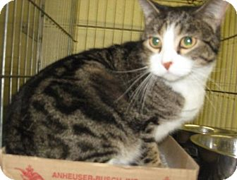 Domestic Shorthair Cat for adoption in Stillwater, Oklahoma - Dixie