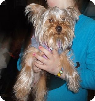 Yorkie, Yorkshire Terrier Dog for adoption in Mentor, Ohio - OLIVER**10 LBS & 1 YR!!