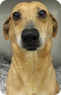 Dachshund/Chihuahua Mix Dog for adoption in Jacksonville, Arkansas - Xena