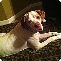 Adopt A Pet :: Moose- Missouri - Wood Dale, IL