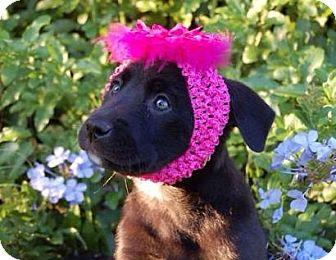 Labrador Retriever/Catahoula Leopard Dog Mix Puppy for adoption in Groveland, Florida - Matilda (11 weeks)