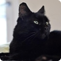 Adopt A Pet :: Velvet - Vancouver, BC