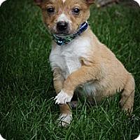 Adopt A Pet :: Lil Caesar - Broomfield, CO