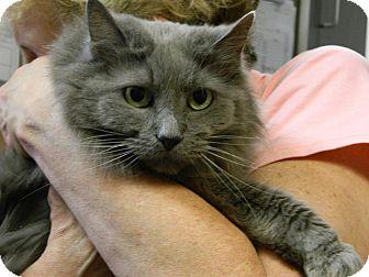 Norwegian Forest Cat Cat for adoption in Cincinnati, Ohio - Janice: Red Bank Vet