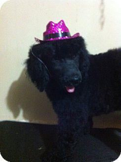Poodle (Standard) Puppy for adoption in Treton, Ontario - Priscilla