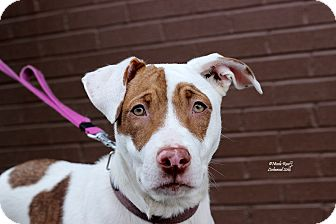 Brittany/American Pit Bull Terrier Mix Dog for adoption in Flushing, Michigan - Honey