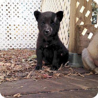 Retriever (Unknown Type)/Shepherd (Unknown Type) Mix Puppy for adoption in Saskatoon, Saskatchewan - Maggie