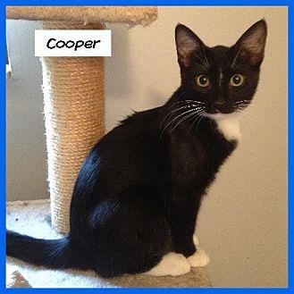 Domestic Shorthair Cat for adoption in Miami, Florida - Cooper