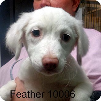 Labrador Retriever/Spaniel (Unknown Type) Mix Puppy for adoption in Manassas, Virginia - Feather