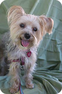 Yorkie, Yorkshire Terrier Mix Dog for adoption in Fountain Valley, California - Saki